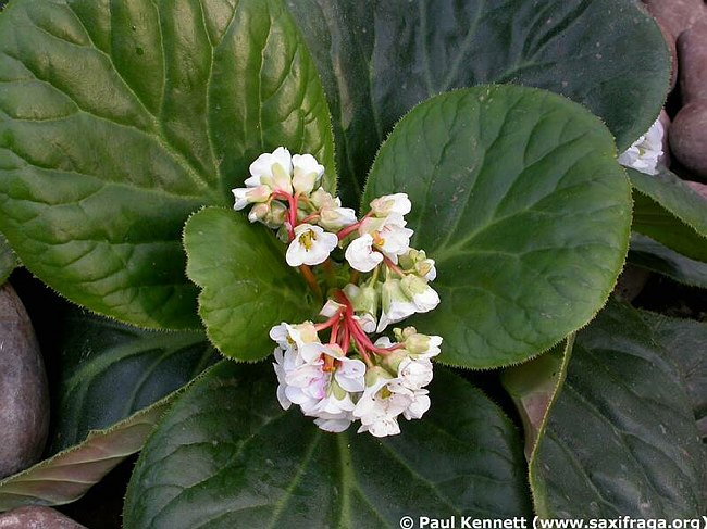 Image of Bergenia ciliata by Paul Kennett
