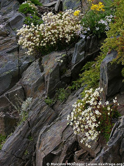 Image of Saxifraga austromontana by Malcolm McGregor