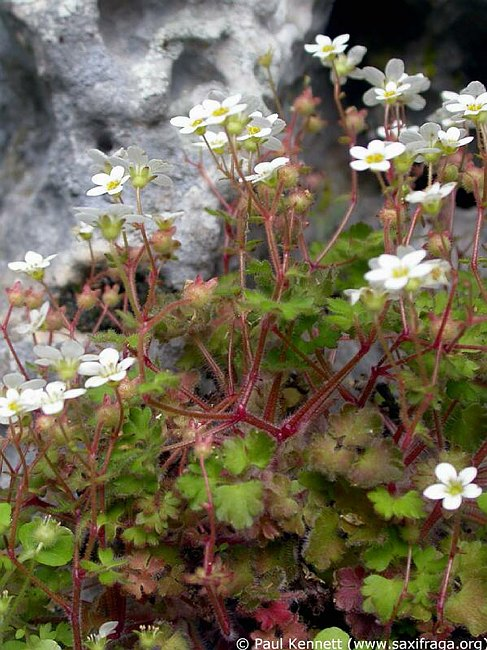 Image of Saxifraga bourgeana by Paul Kennett