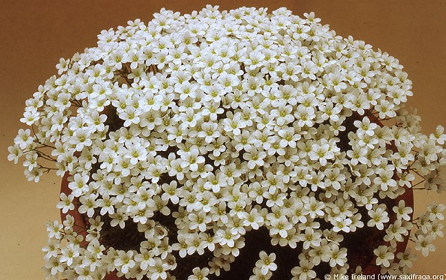 Image of Saxifraga cebennensis by Mike Ireland
