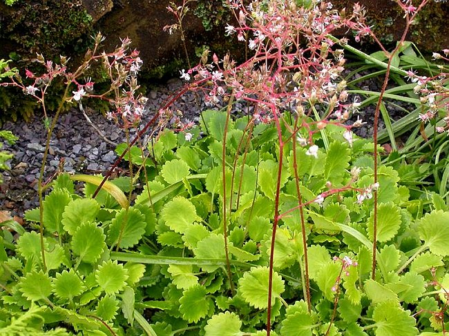 Image of Saxifraga [London Pride Group] 'Dentata' by Paul Kennett