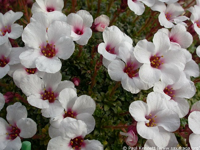 Image of Saxifraga [Premiera Group] 'Don Giovanni' by Paul Kennett
