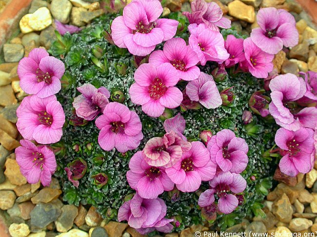 Image of Saxifraga [Blues Group] 'Elvis Presley' by Paul Kennett