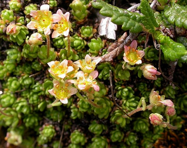 Image of Saxifraga exarata ssp. moschata by Paul Kennett