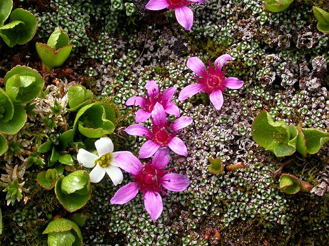 Image of Saxifraga rudolphiana by Paul Kennett