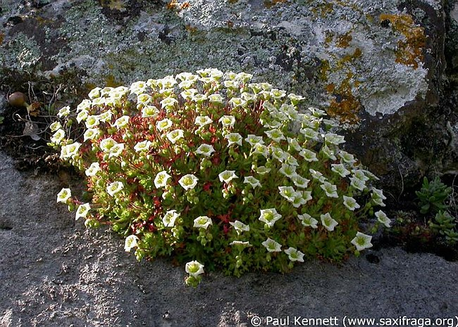 Image of Saxifraga reuteriana by Paul Kennett