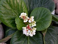 Image of Bergenia ciliata by Paul Kennett : - click to view the full size picture