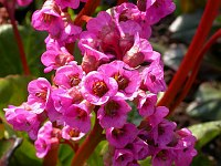 Image of Bergenia purpurascens by Paul Kennett : - click to view the full size picture