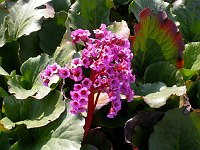 Image of Bergenia x schmidtii by Paul Kennett : - click to view the full size picture