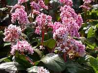 Image of Bergenia 'Silberlicht' by Paul Kennett : - click to view the full size picture