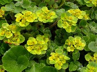 Image of Chrysosplenium davidianum by Paul Kennett : - click to view the full size picture