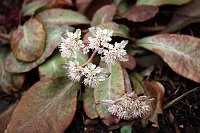 Image of Chrysosplenium macrophyllum by Paul Kennett : - click to view the full size picture