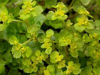 Image of Chrysosplenium oppositifolium by Paul Kennett : - click to view the full size picture