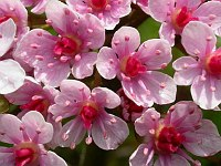 Image of Darmera peltata by Paul Kennett : - click to view the full size picture