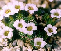 Image of Saxifraga A.C.E. 1714 by Tim Roberts : - click to view the full size picture