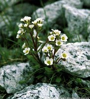 Image of Saxifraga adscendens ssp. adscendens by Kees Jan van Zwienen : - click to view the full size picture