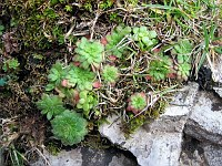 Image of Saxifraga adscendens ssp. parnassica by Marijn van den Brink : - click to view the full size picture