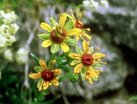 Image of Saxifraga aizoides by Paul Kennett : - click to view the full size picture