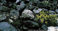 Image of Saxifraga aizoides by Kees Jan van Zwienen : - click to view the full size picture