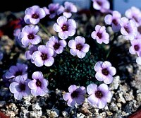 Image of Saxifraga 'Allendale Argonaut' by Tim Roberts : - click to view the full size picture