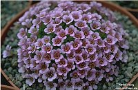 Image of Saxifraga x lismorensis 'Allendale Blossom' by Adrian Young : - click to view the full size picture