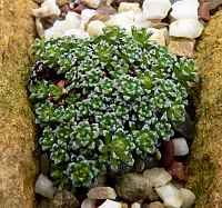 Image of Saxifraga 'Allendale Fairy' by Hans Meulenbelt : - click to view the full size picture