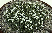 Image of Saxifraga alpigena by Mike Ireland : - click to view the full size picture