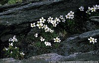 Image of Saxifraga androsacea by Kees Jan van Zwienen : - click to view the full size picture
