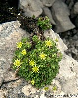 Image of Saxifraga aphylla by Marijn van den Brink : - click to view the full size picture