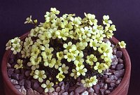 Image of Saxifraga aretioides x poluniniana by Mike Ireland : - click to view the full size picture
