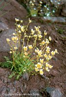 Image of Saxifraga aspera by Marijn van den Brink : - click to view the full size picture