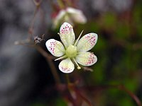 Image of Saxifraga austromontana by Malcolm McGregor : - click to view the full size picture