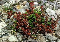 Image of Saxifraga biflora by Kees Jan van Zwienen : - click to view the full size picture