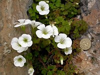 Image of Saxifraga biternata by Paul Kennett : - click to view the full size picture