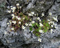 Image of Saxifraga bourgeana by Marijn van den Brink : - click to view the full size picture