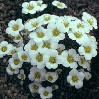 Image of Saxifraga burseriana 'Brookside' by Mike Ireland : - click to view the full size picture