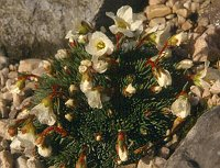 Image of Saxifraga burseriana by Marijn van den Brink : - click to view the full size picture