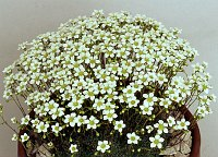 Image of Saxifraga caesia by Mike Ireland : - click to view the full size picture