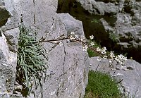 Image of Saxifraga callosa var. callosa by Arie Dekker : - click to view the full size picture