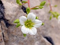 Image of Saxifraga camposii by Malcolm McGregor : - click to view the full size picture