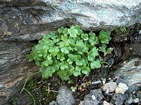 Image of Saxifraga carpatica by Răzvan Chişu : - click to view the full size picture