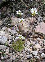 Image of Saxifraga carpetana ssp. carpetana by Malcolm McGregor : - click to view the full size picture