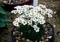 Image of Saxifraga cebennensis by Paul Kennett : - click to view the full size picture