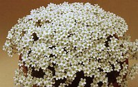 Image of Saxifraga cebennensis by Mike Ireland : - click to view the full size picture