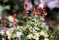 Image of Saxifraga cernua by Paul Kennett : - click to view the full size picture