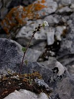 Image of Saxifraga cernua by Malcolm McGregor : - click to view the full size picture