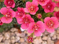 Image of Saxifraga [Impression Group] 'Claude Monet' by Paul Kennett : - click to view the full size picture