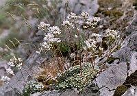 Image of Saxifraga cochlearis by Arie Dekker : - click to view the full size picture