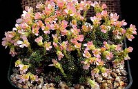 Image of Saxifraga columnaris x juniperifolia by Franz Hadacek : - click to view the full size picture