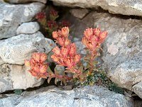Image of Saxifraga corymbosa by Răzvan Chişu : - click to view the full size picture
